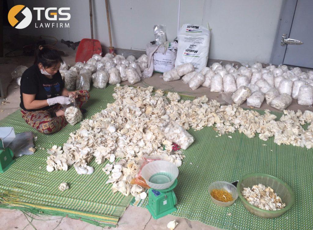 Khâu đóng gói thành phẩm tại cơ sở Hợp tác xã sản xuất nấm ở Bắc Giang