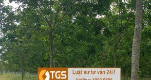 Hạn mức giao đất rừng phòng hộ, rừng sản xuất cho mỗi hộ dân, cá nhân
