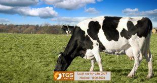 công bố chất lượng bò sữa
